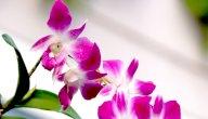 معنى زهرة الأوركيد
