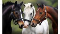 فوائد لحم الحصان