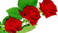 معنى الوردة الحمراء