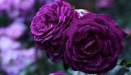 معنى الورد البنفسجي