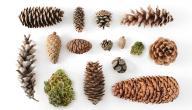 أنواع أشجار الصنوبر