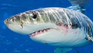 معلومات عن القرش الأبيض