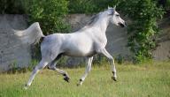 كم يبلغ وزن الحصان العربي