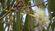 شجرة الكينا وفوائدها