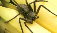 أنواع العناكب السامة