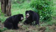 معلومات عن الدب الكسلان
