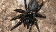 معلومات عن العنكبوت الأسود