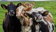 أشهر أنواع الأبقار حول العالم