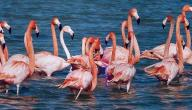معلومات عن طائر البشروش