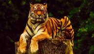 معلومات عن أنثى النمر