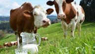 فوائد حليب البقر الطبيعي