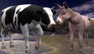 قصة الحمار والبقرة