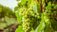 السعرات الحرارية في العنب الأخضر