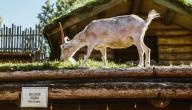 كيفية تربية الماعز