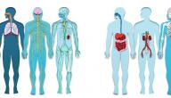أجهزة جسم الإنسان: المكونات والوظائف