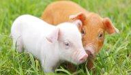 أحكام أكل لحم الخنزير