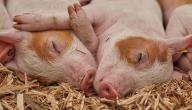 هل أكل لحم الخنزير ينقض الوضوء