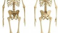 الهيكل العظمي الطرفي: موقعه، أجزاؤه، وظائفه، أمراضه
