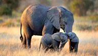 حيوان الفيل: الأنواع، التكاثر، أماكن العيش، أهميته للبيئة