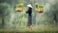 أجود أنواع الأرز في العالم: أين تُزرع وتُباع؟
