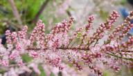 نبات الأثل: هل يخفف آلام الأسنان ويعالج البهاق؟