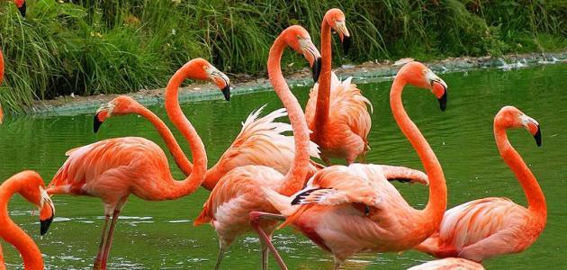 معلومات عن طائر الفلامينغو