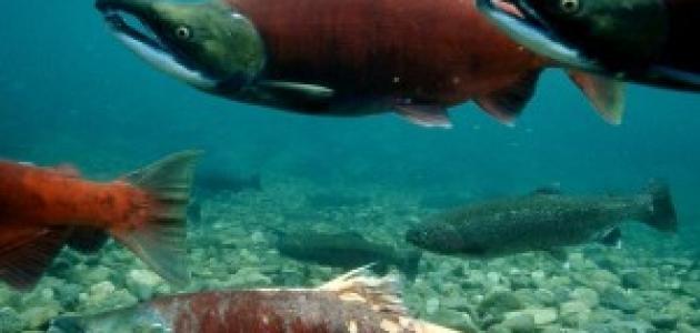 سمك السلمون المعلب و السموم المعدنية