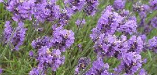 الفوائد الصحية لعشبة اللافندر