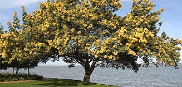 فوائد شجرة السنط