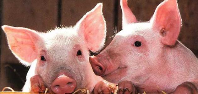 الإعجاز العلمي في تحريم لحم الخنزير