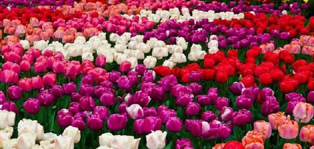 الفرق بين الأزهار والورود