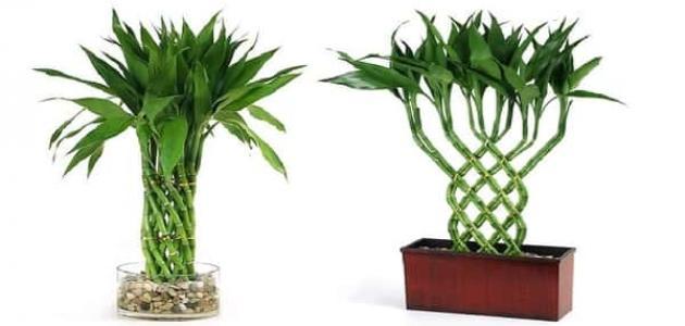 نبات الحظ البامبو