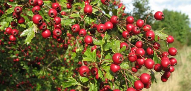فوائد نبات الزعرور
