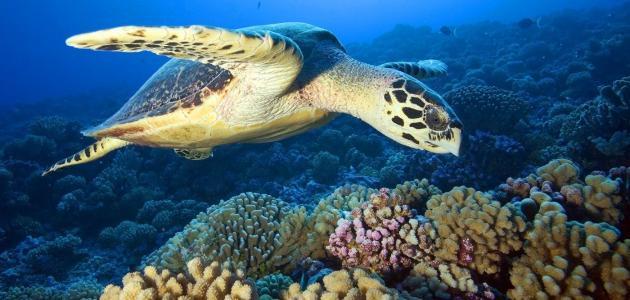 معلومات عن السلحفاة البحرية