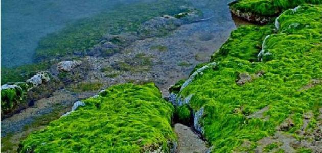 أهمية الطحالب للإنسان