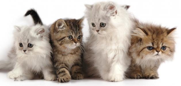 أنواع قطط الشيرازي