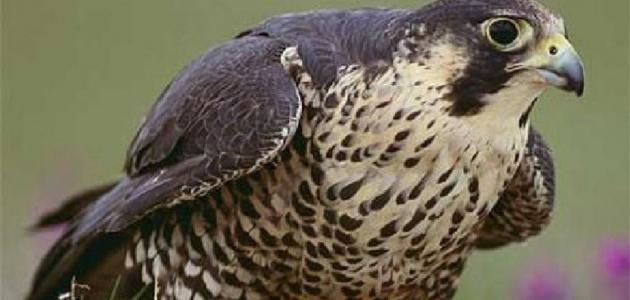ما هي الطيور الجارحة