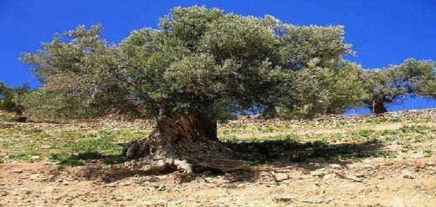 ما هي شجرة الغرقد ؟