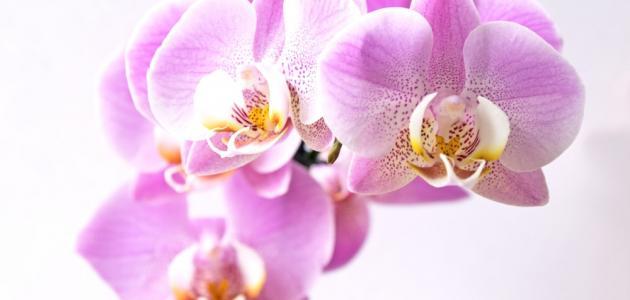 خصائص زهرة الأوركيد