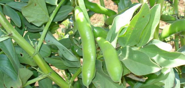 كيفية زراعة الفول