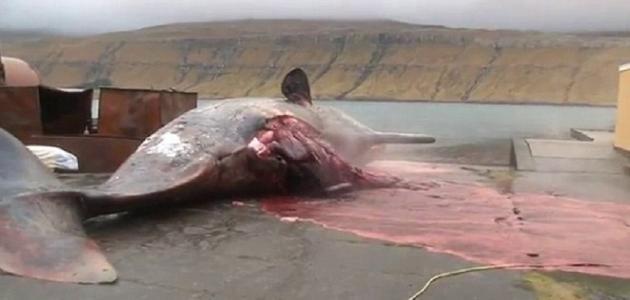 كيفية استخراج العنبر من الحوت