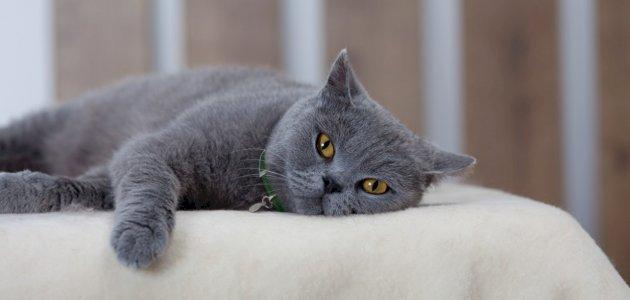 ما هو داء خدش القطة
