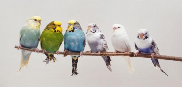معلومات عن طيور البادجي
