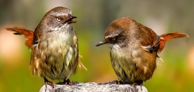 معلومات عن طائر النمنمة