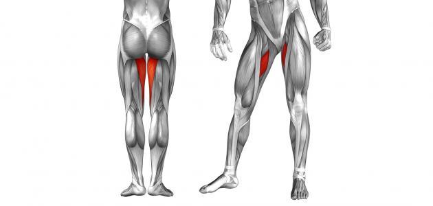 ما هي العضلة الضامة