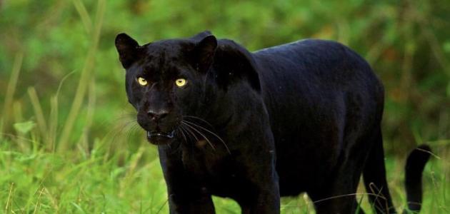 معلومات عن الفهد الأسود
