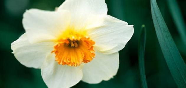 سبب تسمية زهرة النرجس بهذا الاسم