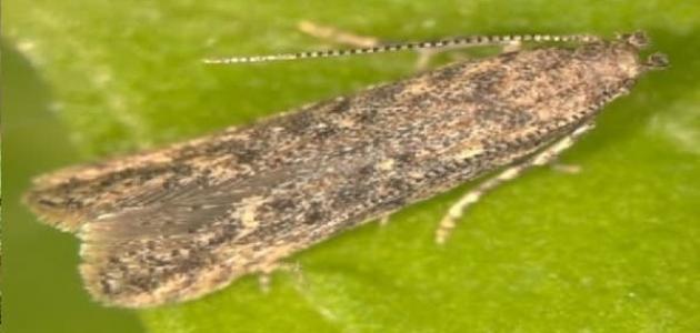 كيفية مكافحة حشرة توتا ابسلوتا
