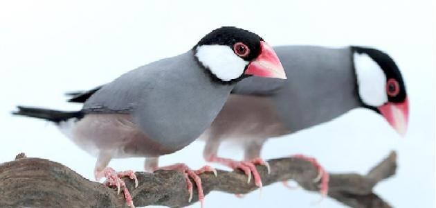 معلومات عن طيور الجاوا