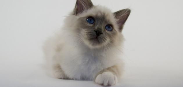 معلومات عن القط بيرمان